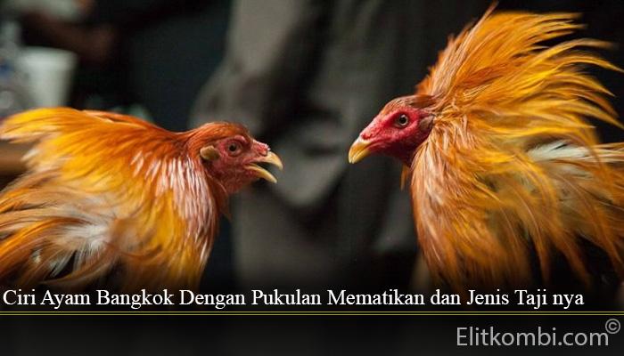 Ciri Ayam Bangkok Dengan Pukulan Mematikan dan Jenis Taji nya