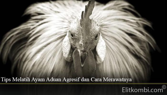 Tips Melatih Ayam Aduan Agresif dan Cara Merawatnya