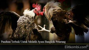 Panduan Terbaik Untuk Melatih Ayam Bangkok Petarung